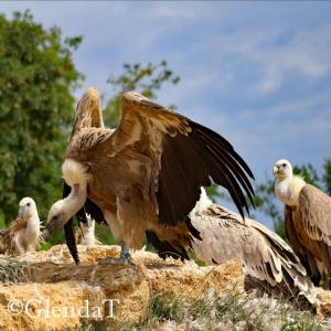 Vulture Family Bioparc France cw