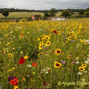 Wild flower meadow Ickworth